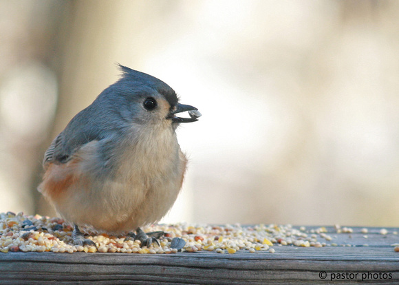 Animals ~ February 2009 ~ Tufted Titmouse